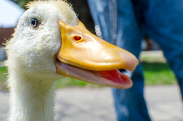 A Peking duck, Launchpad McQuack, shows off for the camera in Wenonah Park in downtown Bay City on Thursday, May 8. His owner, Clynton Bartlett of Bay City, said he got Launchpad at the Tractor Supply Company for $5 when he was four days old. (Danielle McGrew | The Bay City Times)