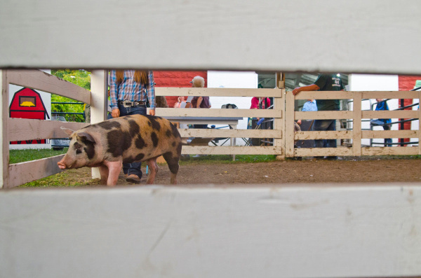 Melissa Rapp of the Country Cousins Critters and Kids 4-H Club directs her hog at the Bay County 4-H Livestock Auction on Thursday, Aug. 7, at the Bay County Fairgrounds in Bay City. (Danielle McGrew | for the Bay City Times)